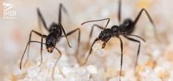 Ouvrières de la fourmi Aphaenogaster iberica sur le sable de la Sierra Nevada in memoriam Prof. R. Boulay © E. Sansault/ANEPE Caudalis/IRBI –CNRS/Université de Tours