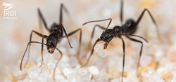 Ant workers Aphaenogaster iberica on the sand of Sierra Nevada in memoriam Prof. R. Boulay © E. Sansault/ANEPE Caudalis/IRBI -CNRS/University of Tours